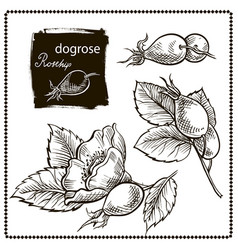 dog rose hand drawn vector image