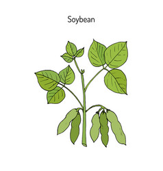 Soybean hand drawn vector