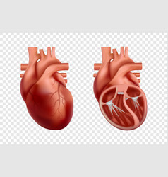 3d human heart anatomy with cross-section and non vector