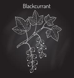 blackcurrant ribes nigrum vector image vector image