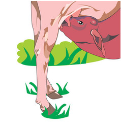 Calf drinking milk vector