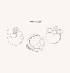 set of hand drawn mangosteen tropical fruit fresh vector image