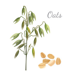 oats branch and pile of cereals grain on white vector image vector image