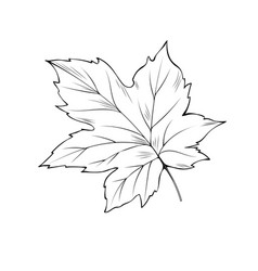 maple tree leaf coloring book vector image