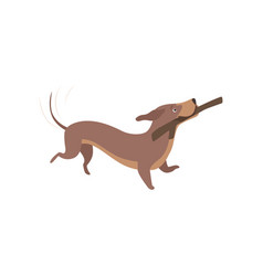 purebred brown dachshund dog playing with stick vector image