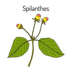 spilanthes acmella oleracea medicinal plant vector image