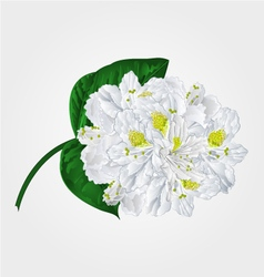 White rhododendron twig in bloom mountain shrub v vector