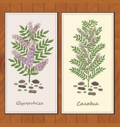 Glycyrrhiza plant card template vector
