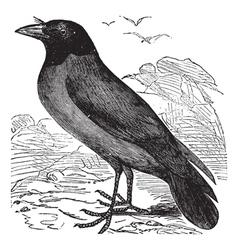 Hooded Crow vintage engraving vector