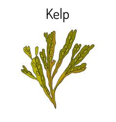 Kelp fucus vesiculosus seaweed vector