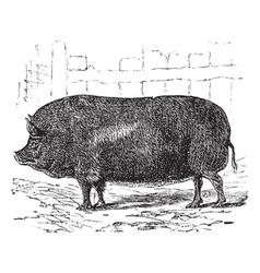 Essex pig vintage engraving vector