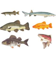 Freshwater fish perch stun trout vector