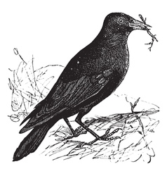 Jackdaw vintage engraving vector