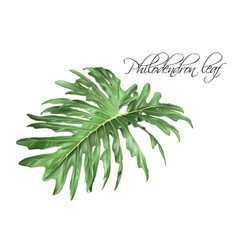 philadendron leaf vector image