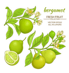 Bergamot set vector