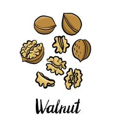 Drawing walnuts vector