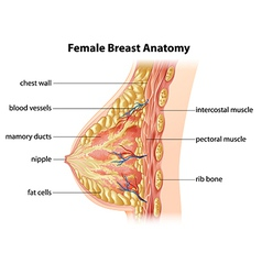 Female Breast Anatomy vector image vector image