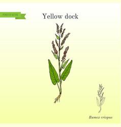 Yellow dock rumex confertus or parell patience vector