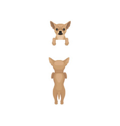 chihuahua hanging on invisible fence front and vector image