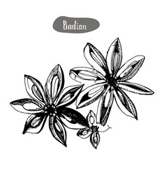 Star anise or badian hand drawn sketchengraved vector