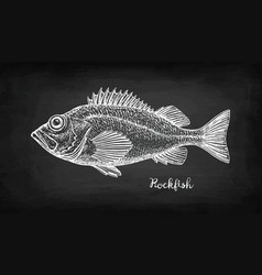 Chalk sketch of rockfish vector