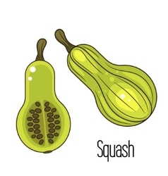Green squash or zucchini vector image