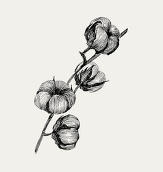 hand draw ink cotton plant engraving vector image