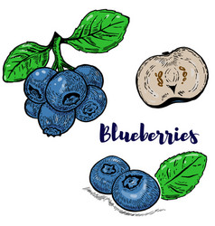 Set of colorful blueberries isolated on white vector