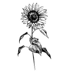 Hand sketch sunflower vector