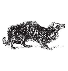 Civet vintage vector