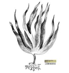 Hand drawn laminaria digitata seaweed vector