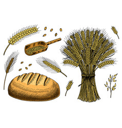 set wheat rye spikelets and corn seeds vector image