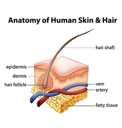 Anatomy Human Skin Hair vector