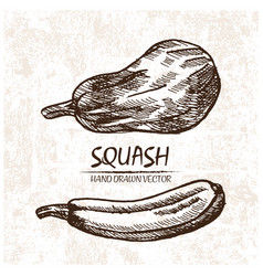 digital detailed squash hand drawn vector image