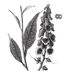 Foxglove vintage engraving vector image