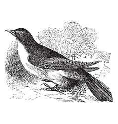 Yellow-billed Cuckoo engraving vector