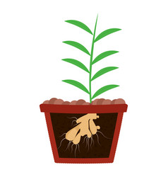 Planting ginger tree in pot vector