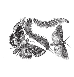 Owlet moth vintage engraving vector image vector image