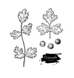 Coriander hand drawn set vector image