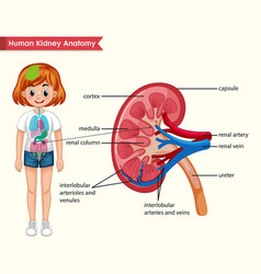 Scientific medical kidney anatomy vector