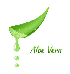 Aloe vera leaf realistic green plant leaves or vector
