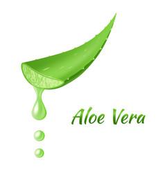 Aloe vera leaf realistic green plant leaves vector