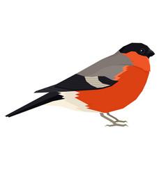Bullfinch bird isolated object vector