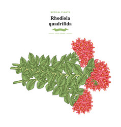 Rhodiola quadrifida plant medical and cosmetic vector