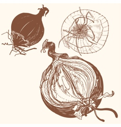 fresh brown onions engrave drawing vector image
