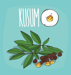 set of isolated plant kusum seeds herb vector image
