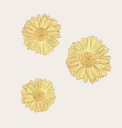 chrysanthemum flower sketch vector image