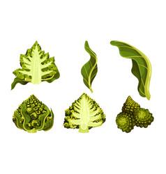 Romanesco broccoli or roman cauliflower with vector