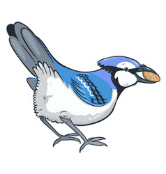 Blue jay with a nut in its beak isolated on a vector