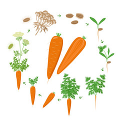Carrot plant growth stages infographic elements vector